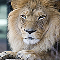 African Lion by Juli Scalzi