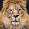 African Lion Male Portrait by Gerry Ellis