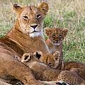 African Lioness And Young Cubs by Suzi Eszterhas