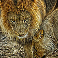 African Lions 6 by Linda Tiepelman