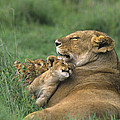 African Lions Mother And Cubs Tanzania by Dave Welling