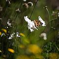 African Monarch Butterfly In Garden by David Van der Want
