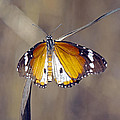 African Monarch Butterfly by Tony Murtagh