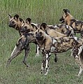 African Painted Hunting Dogs by Bruce W Krucke