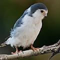 African Pygmy Falcon by Anthony Mercieca