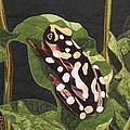 African Reed Frog by Lynda K Boardman