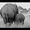 African Safari Elephants 3 by Jeff Brunton