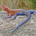 African Safari Lizard by Jeff Brunton