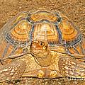 African Spur Thigh Tortoise by Millard H. Sharp
