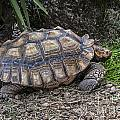 African Spurred Tortoise by Arterra Picture Library