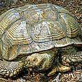 African Spurred Tortoise by Millard H. Sharp