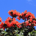 African Tulip Tree by Shane Bechler