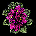 African Violets Bedazzled by R  Allen Swezey