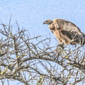 African White-backed Vulture by Liz Leyden