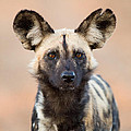 African Wild Dog by Max Waugh