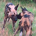 African Wild Dogs by George Pedro