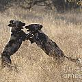African Wild Dogs Playing Lycaon Pictus by Liz Leyden