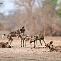 African Wild Dogs by Science Photo Library
