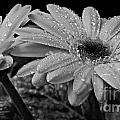 After The Rain Bw by Chalet Roome-Rigdon