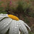 After The Rain Daisy by Lisa Marie Smith