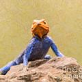 Agama Lizard On Rock by Liz Leyden