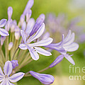 Agapanthus by Delphimages Photo Creations