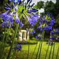Agapanthus In The Garden by Belinda Greb
