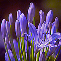 Agapanthus - Lily Of The Nile - African Lily by Nikolyn McDonald