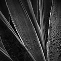 Agave by Phil Penne