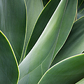 Agave Plant by Charmian Vistaunet