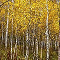 Age Pitted Aspens by Mitch Johanson