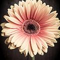 Aster Flower by Edward Fielding