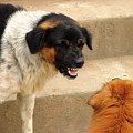 Aggressive Dogs by Bjorn Svensson/science Photo Library