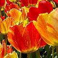 Agressive Tulips by Sylvia Herrington