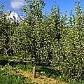 Agriculture - Bosc Pear Orchard by Charles Blakeslee