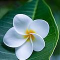 Ahui Pua Melia O Waianapanapa - Tropical Plumeria by Sharon Mau