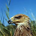 Aigle Imperial Aquila Heliaca by Gerard Lacz