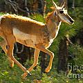 Airborn Pronghorn by Adam Jewell