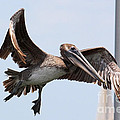 Airborne Brown Pelican by Carol Groenen