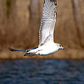 Airborne Seagull Series 2 by Roy Williams