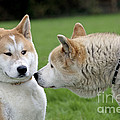 Akita Inu Dogs, Old And Young by Johan De Meester