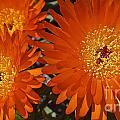 Orange Burst Akuli Kuli by Cheryl Cutler
