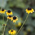 Alabama Black Eyed Susan Wildflowers by Kathy Clark