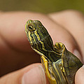 Alabama Red-bellied Turtle -  Pseudemys Alabamensis by Kathy Clark