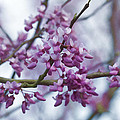 Alabama Redbuds by Kathy Clark