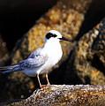 Alabama Tern by Travis Truelove