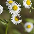 Alabama Wildflower Robin's Plantain - Erigeron Pulchellus by Kathy Clark