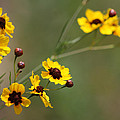 Alabama Wildflowers Coreopsis Tinctoria Tickseed by Kathy Clark