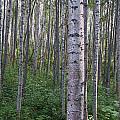Alaska - A Dense Grove Of Birch Trees by Scott Lenhart