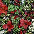 Alaskan Berries 1 by Arterra Picture Library
